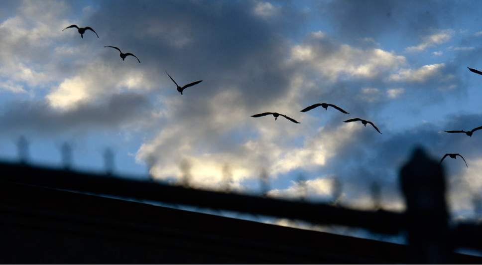 Al Hartmann  |  The Salt Lake Tribune Flock of Canada Geese fly over the fenceline and guard tower of the Utah State Prison Tuesday October 25.