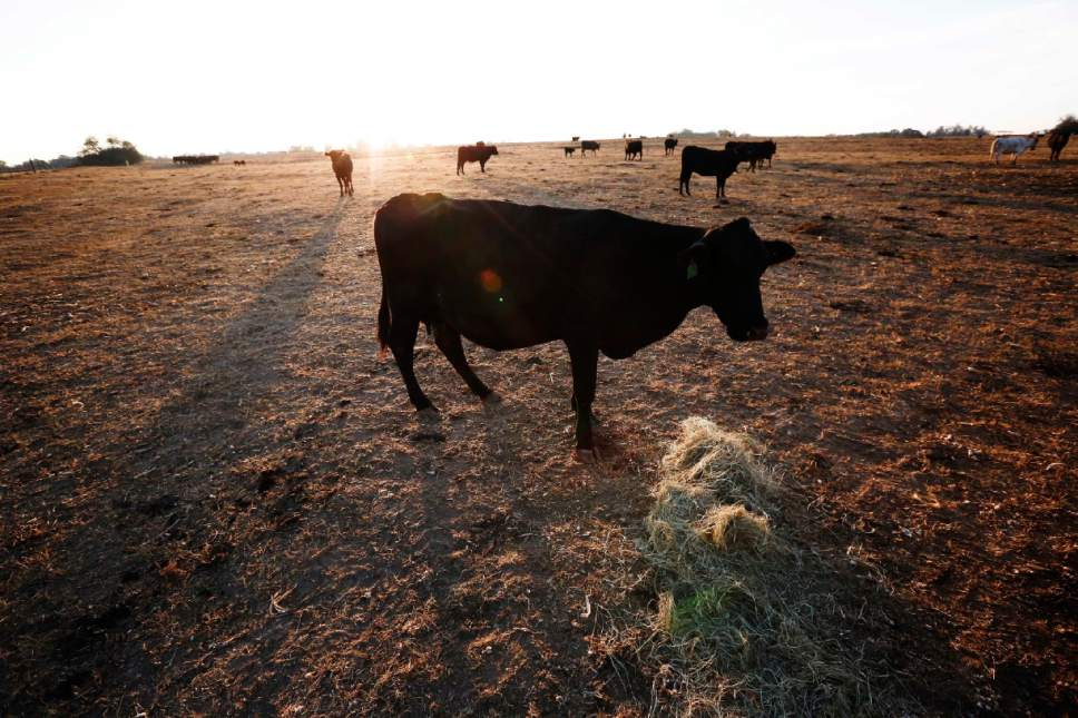 In this Wednesday, Oct. 26, 2016 photo, one of the remaining cows on Alabama farmer David Bailey's farm, walks towards a pile of hay to be fed, surrounded by dirt where ankle deep green grass use to be, according to Bailey, in Dawson, Ala. Some of the South's most beautiful mountains and valleys are filling with desperation as a worsening drought kills crops, threatens cattle and sinks lakes to their lowest levels in years. (AP Photo/Brynn Anderson)