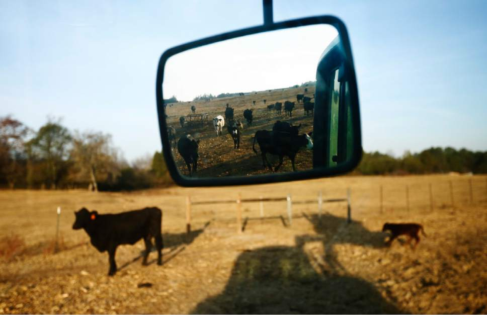 "In this Wednesday, Oct. 26, 2016 photo, cattle surrounded by dirt and dead grass can be seen following a tractor to be feed with hay on David Bailey's farm, in Dawson, Ala. ""Here at my farm, April 15 was when the rain cut off,"" said Bailey, ""We've come through some dry years in the early '80s, but I never seen it this dry, this long."" Some of the South's most beautiful mountains and valleys are filling with desperation as a worsening drought kills crops, threatens cattle and sinks lakes to their lowest levels in years.  (AP Photo/Brynn Anderson)"