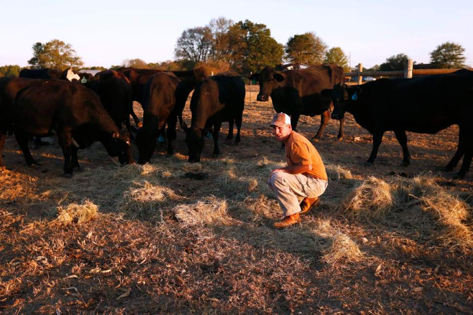 In this Wednesday, Oct. 26, 2016 photo, Alabama farmer David Bailey feeds his cows hay and sits in the middle of a dirt pile where he says use to have ankle deep green grass, surround by hungry cows, in Dawson, Ala. Bailey had to sell off half of his cattle heard, more than 100 animals, because he doesn't have enough hay to feed them through the winter. That was hard to take, he said, because cattlemen develop close bonds with their animals. ome of the South's most beautiful mountains and valleys are filling with desperation as a worsening drought kills crops, threatens cattle and sinks lakes to their lowest levels in years.  (AP Photo/Brynn Anderson)