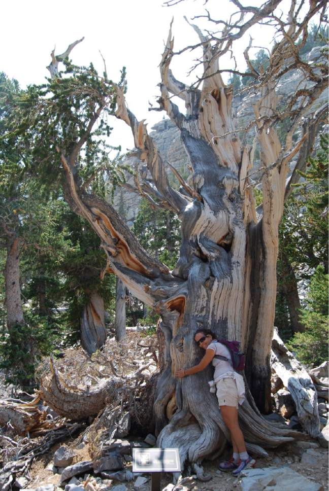 Brian Maffly  |  The Salt Lake Tribune  Bristlecone pines, like this one pictured under Nevada's Wheeler Peak in Great Basin National Park, are the world's most long-lived organisms. New research shows they are also immune from mountain pine beetle attacks that are laying waste to millions of acres of Western forests.