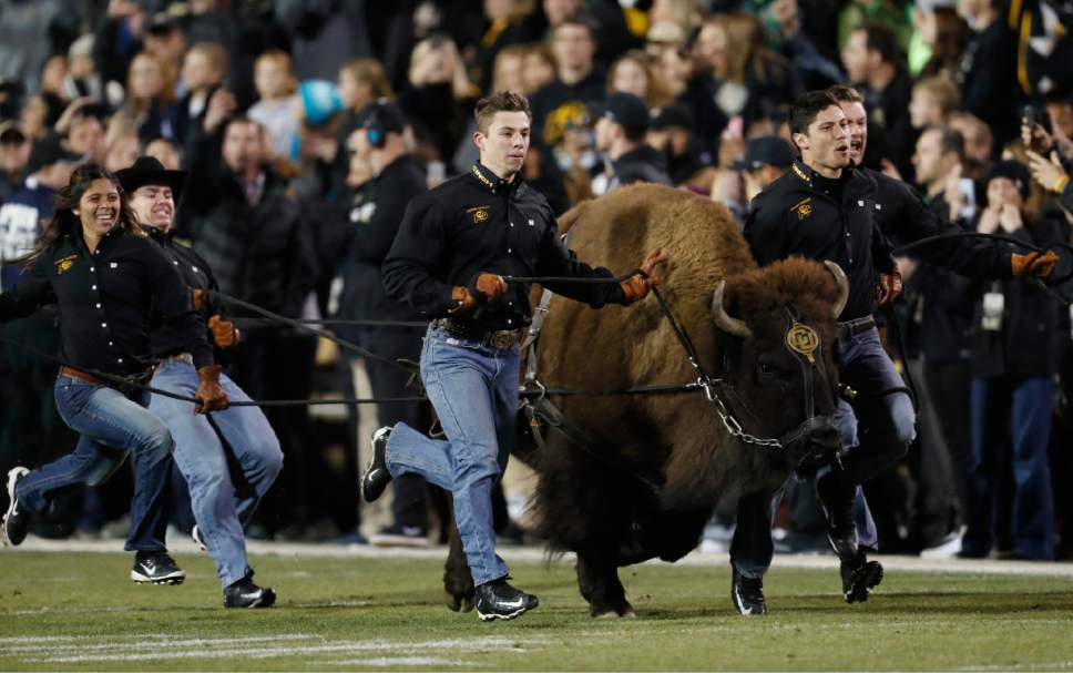 Handlers guide Colorado mascot Ralphie around the field before the team faces Utah in an NCAA college football game Saturday, Nov. 26, 2016, in Boulder, Colo. (AP Photo/David Zalubowski)