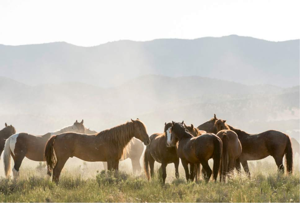 Rick Egan  |  Tribune file photo  Horses from the Onaqui wild horse herd, about 60 miles southwest of Tooele near Simpson Springs, Thursday June 5, 2014.