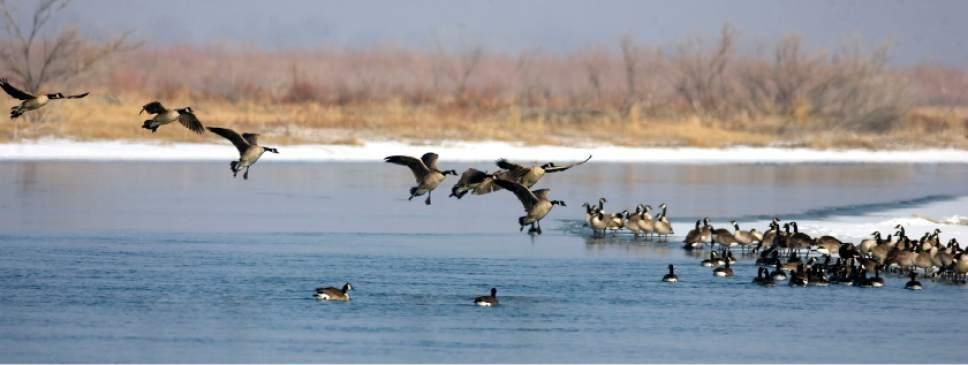 Al Hartmann  |  The Salt Lake Tribune  Canada Geese land on a branch of the Bear River.