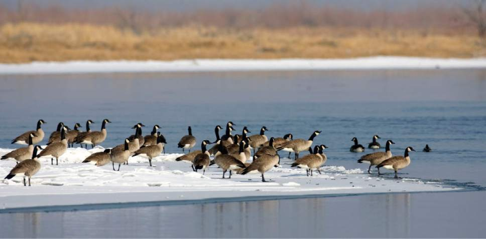 Al Hartmann  |  The Salt Lake Tribune  Canada Geese on a patch of ice on the Bear River.