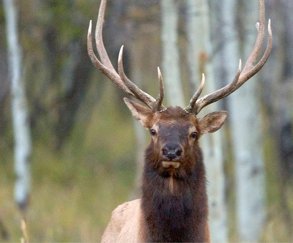 Al Hartmann  |  The Salt Lake Tribune  Bull elk in the high forested plateau country on the Bears Ears of San Juan County.  The area has deer, elk, black bear, wild turkeys and mountain lion.  The area is included for a proposed Bears Ears National Monument.
