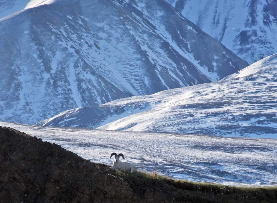 FILE - This Sept. 2, 2015 file photo shows a Dall sheep lounging on a ridge line in Denali National Park and Preserve, Alaska.  Denali marks its centennial as a national park in 2017, and Alaska marks 150 years since it was transferred from Russia to the United States. Alaska is on several lists for where to go in the new year. (AP Photo/Becky Bohrer, File)