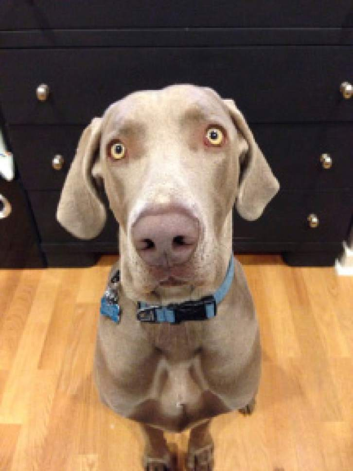 | Courtesy KUTV Channel 2  Geist, a 110-pound Weimaraner, was shot by Salt Lake City police as they were searching for a missing child.