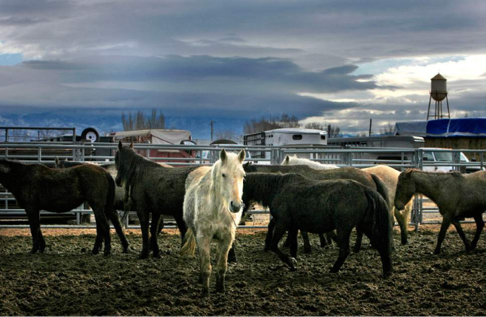 Scott Sommerdorf  |  The Salt Lake Tribune  A group of wild horses stand in pens as they await adoption. The Bureau of Land Management holds a wild horse adoption Saturday, January 24, 2009, in Delta.