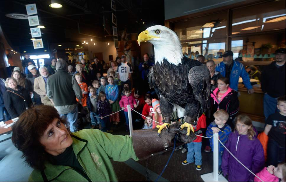 "Scott Sommerdorf | The Salt Lake Tribune Heidi Christensen of the Odgen Nature Center holds ""Des Ta Te"" the Bald Eagle, during her visit to the Bear River Migratory Bird Refuge near Brigham City, Saturday, February 11, 2017"