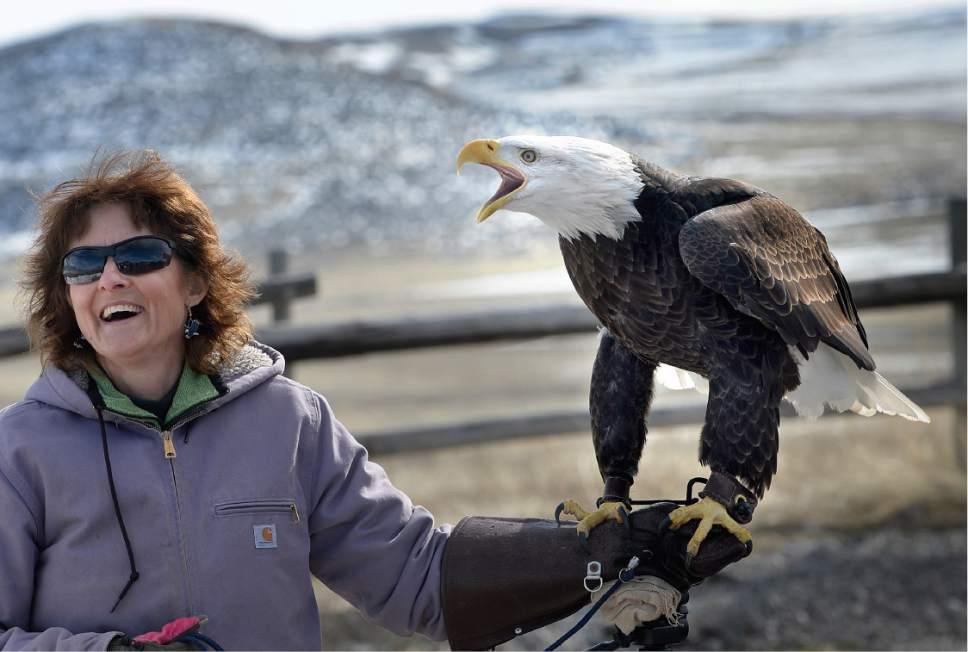 "Scott Sommerdorf | The Salt Lake Tribune Heidi Christensen, a bird handler from the Ogden Nature Center holds ""Des Ta Te"" the Bald Eagle as she screeches at the Salt Creek Waterfowl Management Area, Saturday, February 11, 2017."
