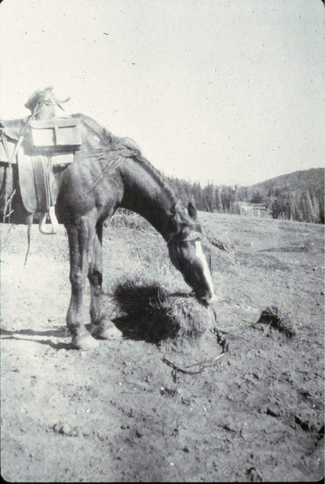 Parts of what became the Manti La Sal National Forest were so overgrazed in the early 1900s that locals asked the forest service to take over management.   Courtesy photo
