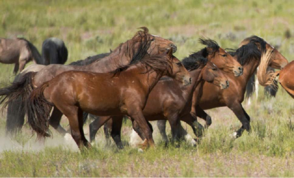 Rick Egan  |  Tribune file photo  Wild horses in the Onaqui wild horse herd, about 60 miles southwest of Tooele near Simpson Springs, Thursday June 5, 2014.