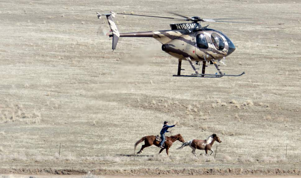 Steve Paige     Return to Freedom The BLM is rounding up hundreds of wild horses from the Cedar Mountain herd management area in Tooele County this week. As of Wednesday, Feb. 22, wranglers had gathered 534 horses, three of which had to be euthanized due to injuries or illness. Land managers plan to administer fertility-control drugs to many of the mares and return them to the range with an equal number of stallions.