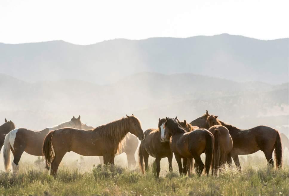 Rick Egan  |  Tribune file photo  Horses from the Onaqui wild horse herd, about 60 miles southwest of Tooele near Simpson Springs, Thursday June 5, 2014.
