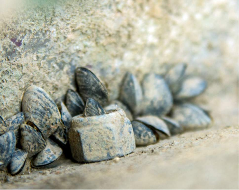 These mussels were found on a boat at Lake Powell in 2016. If attached mussels are found on your boat this year, you'll have to get it decontaminted and allow it to dry for the required length of time. Cody Edwards  |  Utah Division of Wildlife Resources