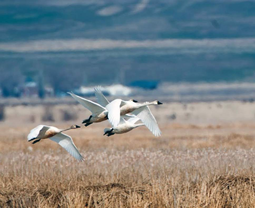 Wild Swan Day is a great day to get outside and see tundra swans. Courtesy  |  Mike Christensen, Utah Division of Wildlife Resources