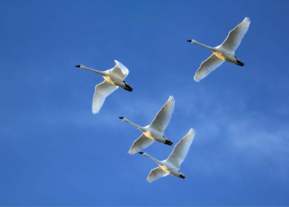 Wild Swan Day is a great day to get outside and see tundra swans. Courtesy  |  Phil Douglass, Utah Division of Wildlife Resources