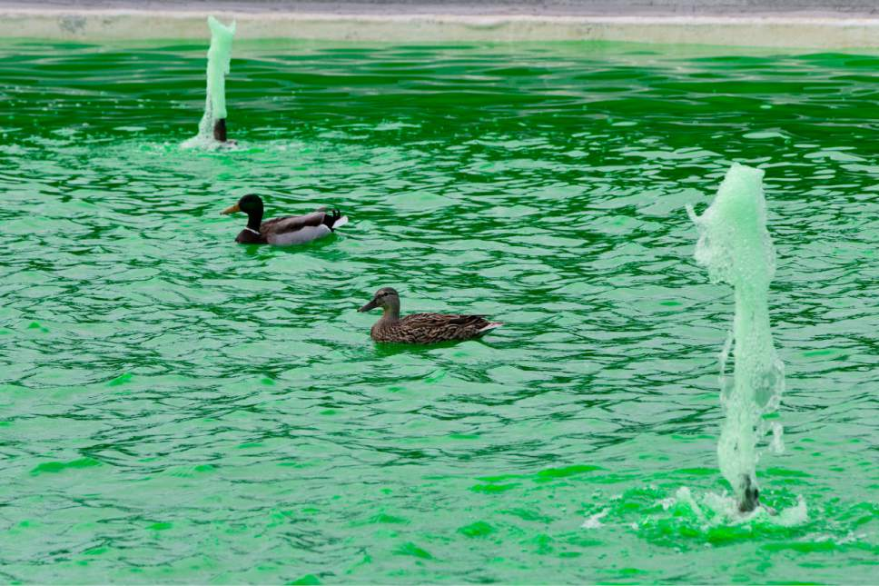 Ducks swim in a fountain on the South Lawn of the White House in Washington, Tuesday, March 17, 2015, that has been dyed green for St. Patrick's Day. (AP Photo/Jacquelyn Martin)