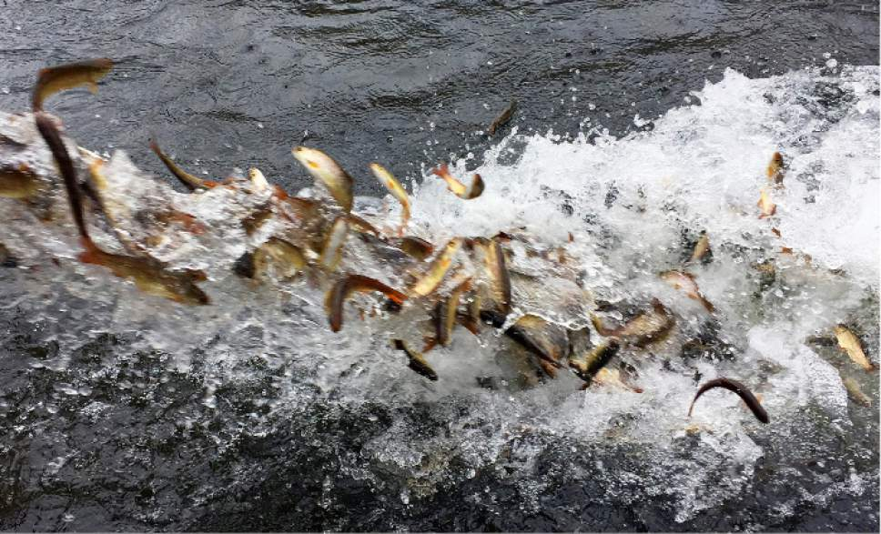 In this Thursday, March 9, 2017 photo, hundreds of juvenile coho salmon are released into the Lostine River from a water tanker truck. The Nez Perce tribe and the Oregon Department of Fish and Wildlife worked together to restore 500,000 juvenile coho salmon to the Snake River Basin in northeastern Oregon, where they haven't been seen for more than 30 years. The smolts were trucked in nine tankers from a hatchery outside Portland 300 miles inland to the Lostine River in northeastern Oregon. (AP Photo/Gillian Flaccus)