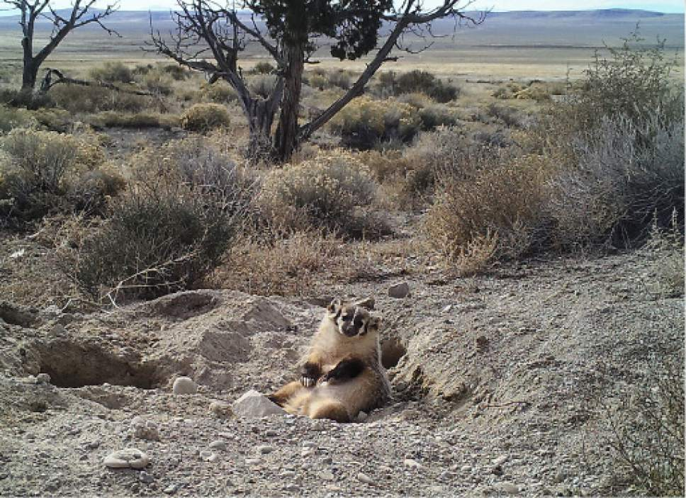 |  Courtesy Evan Buechley  Images from a trap camera show a badger in the process of burying a 50-pound cow carcass in the Utah desert.