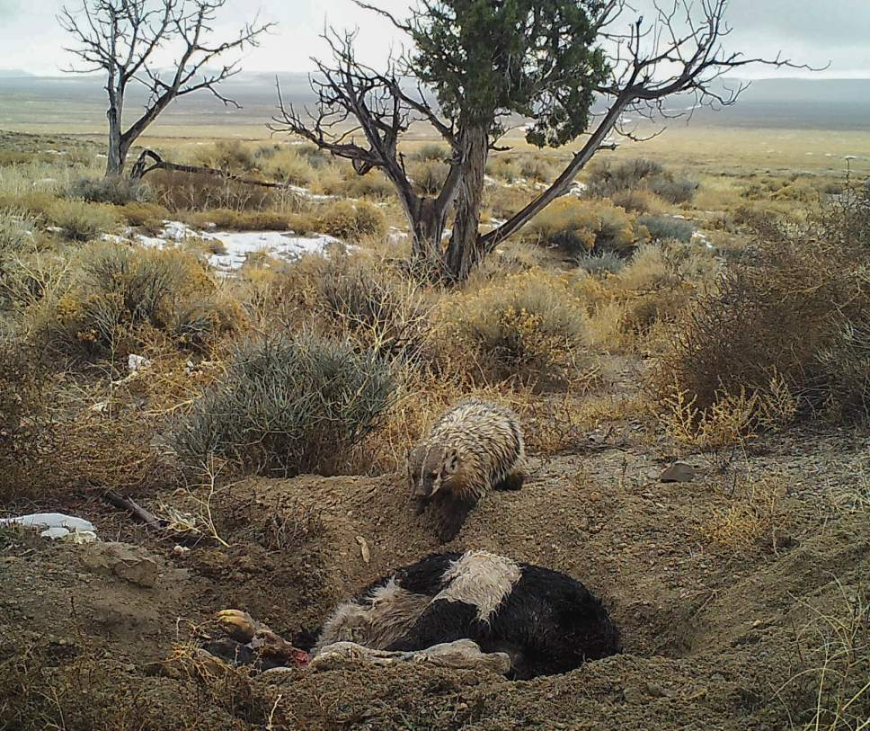 Courtesy Evan Buechley | Images from a trap camera show a badger in the process of burying a 50-pound cow carcass in the Utah desert