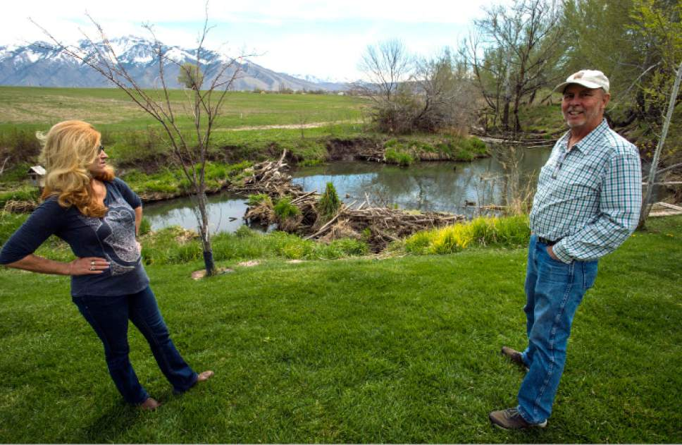 Steve Griffin  |  The Salt Lake Tribune  Kelly McAdams and his wife, Kris Burns, stand in the back yard that includes a beaver dam, center, on Thursday, April 6, 2017.  Salt Lake County officials are pressuring McAdams and his neighbors to remove the beaver dams from Big Willow Creek where the stream flows across their properties. They insist the dams have been there for years and should remain because they are natural and provide wetland habitat, but officials say they pose a flood hazard.