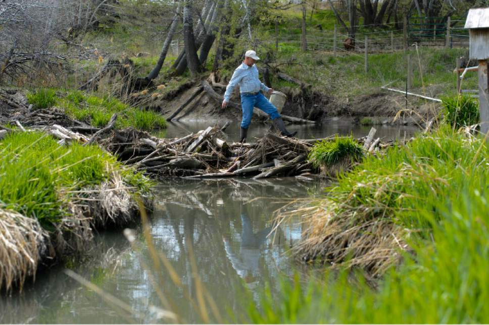 Steve Griffin  |  The Salt Lake Tribune Kelly McAdams walks across a beaver dam in his back yeard to remove a bucket that was caught on the top of the dam on Thursday, April 6, 2017.  Salt Lake County officials are pressuring McAdams and his neighbors to remove the beaver dams from Big Willow Creek where the stream flows across their properties. They insist the dams have been there for years and should remain because they are natural and provide wetland habitat, but officials say they pose a flood hazard.