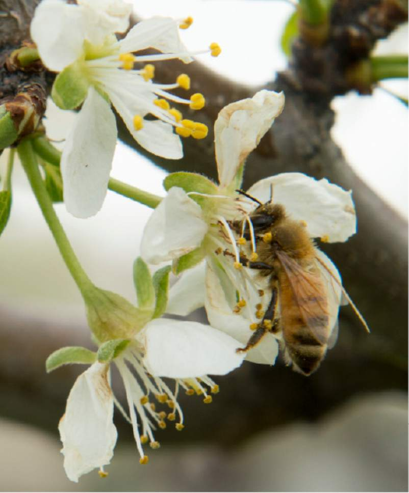 Rick Egan  |  The Salt Lake Tribune  European Plum blossoms at the Utah State University demonstration garden in Kaysville which features plants intended to feed and attract bees, Tuesday, April 11, 2017.