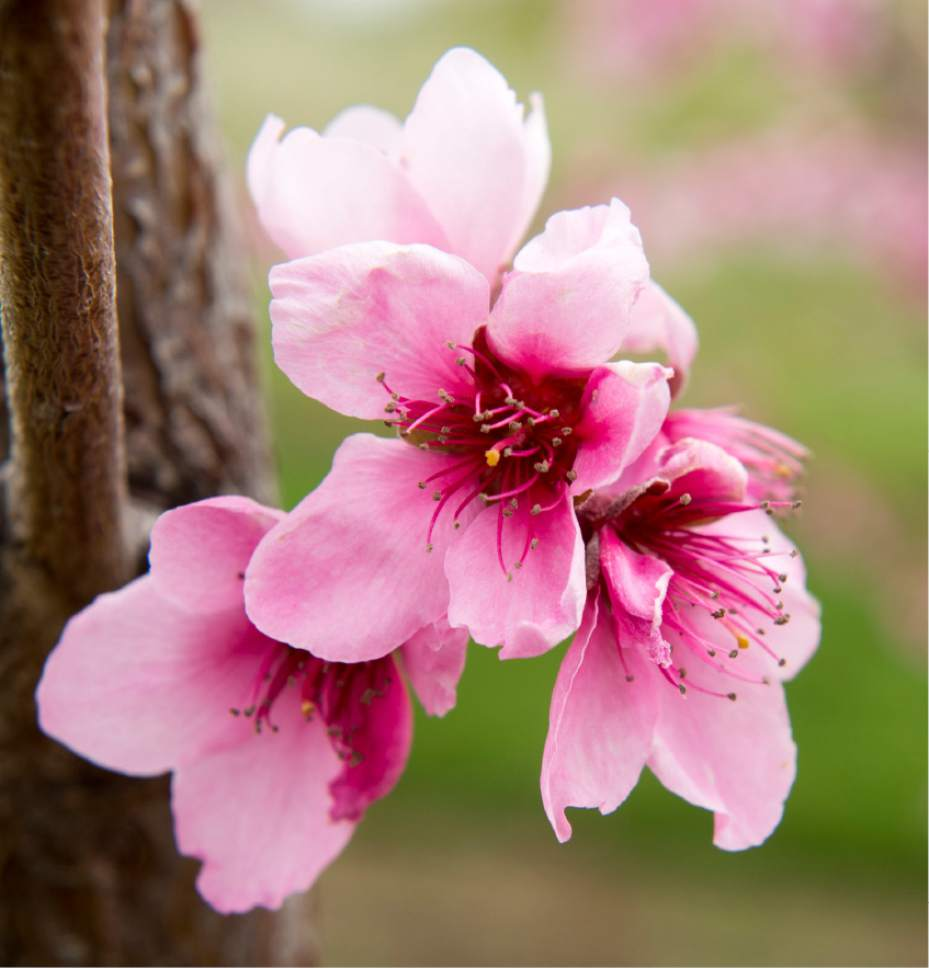 Rick Egan  |  The Salt Lake Tribune  O'Henry peach blossoms at the Utah State University demonstration garden in Kaysville which features plants intended to feed and attract bees, Tuesday, April 11, 2017.