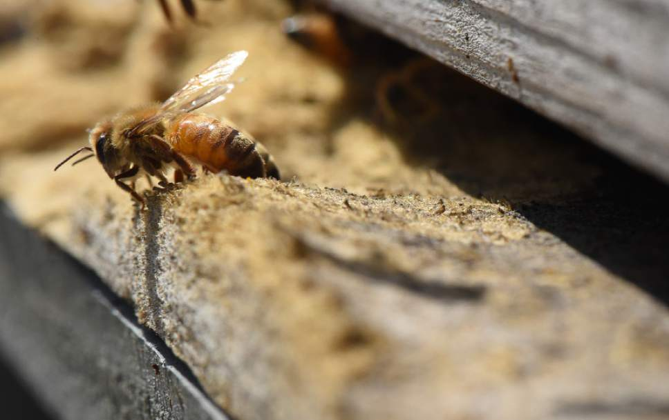"Francisco Kjolseth  |  The Salt Lake Tribune Bee Keeper Denise Hunsaker, President of the Wasatch Bee Keepers Association is passionate about bees. Keeping five hives in her backyard, she explains how one bee produces a 12th of a teaspoon of honey in its lifetime. ""That is why we need so many bees""."