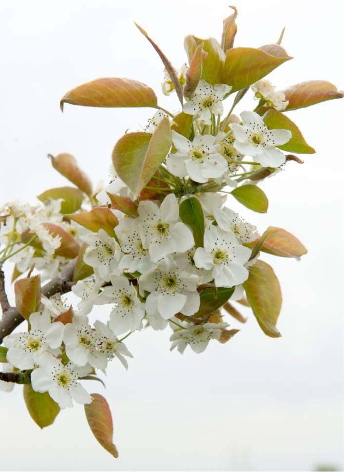 Rick Egan  |  The Salt Lake Tribune  Asian Pear blossoms at the Utah State University demonstration garden in Kaysville which features plants intended to feed and attract bees, Tuesday, April 11, 2017.