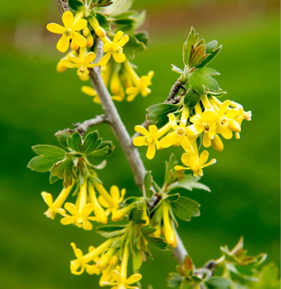 Rick Egan  |  The Salt Lake Tribune  Crandall Currant blossoms at the Utah State University demonstration garden in Kaysville which features plants intended to feed and attract bees, Tuesday, April 11, 2017.