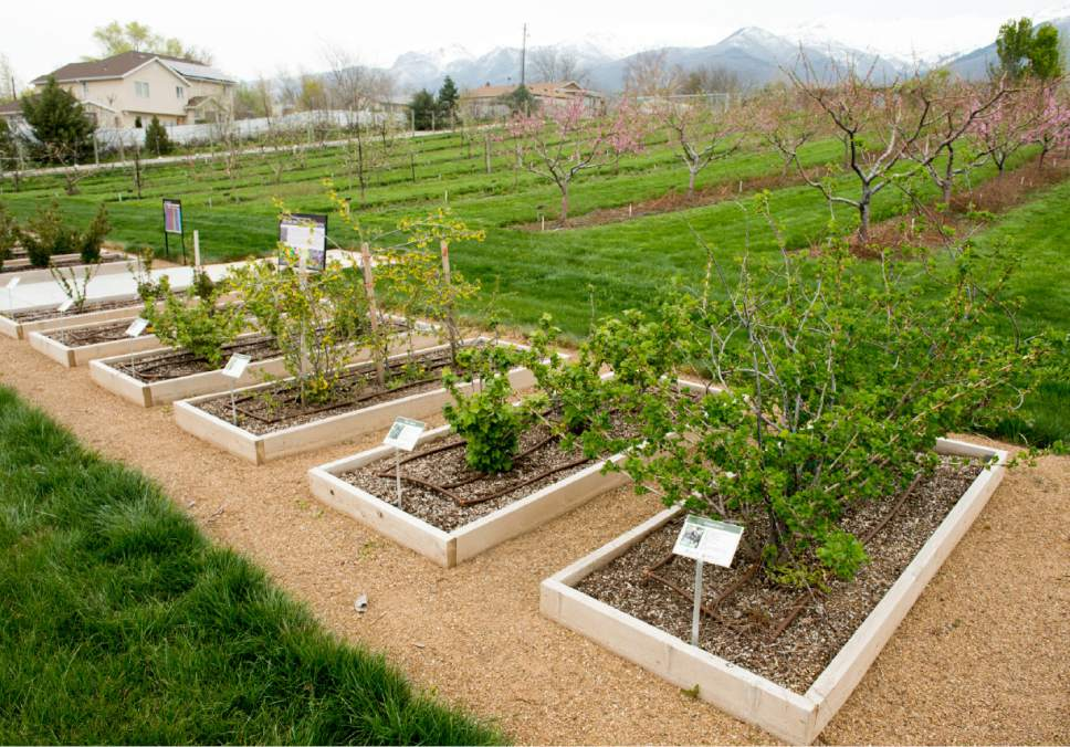 Rick Egan  |  The Salt Lake Tribune  Utah State University demonstration garden in Kaysville which features plants intended to feed and attract bees, Tuesday, April 11, 2017.
