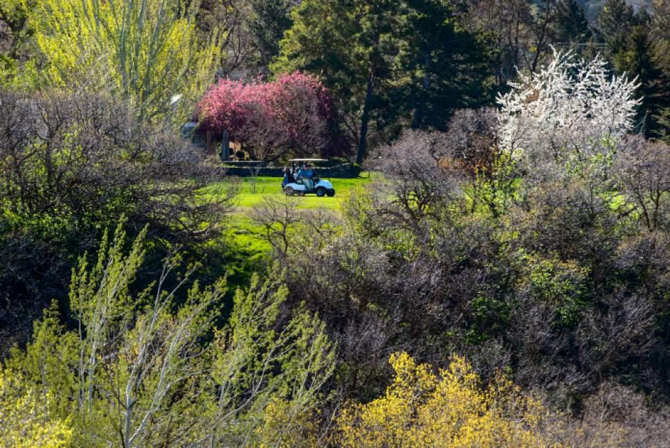 Steve Griffin  |  The Salt Lake Tribune   The morning sun lights up the spring colors on tress at Bonneville Golf Course in Salt Lake City Thursday April 13, 2017.
