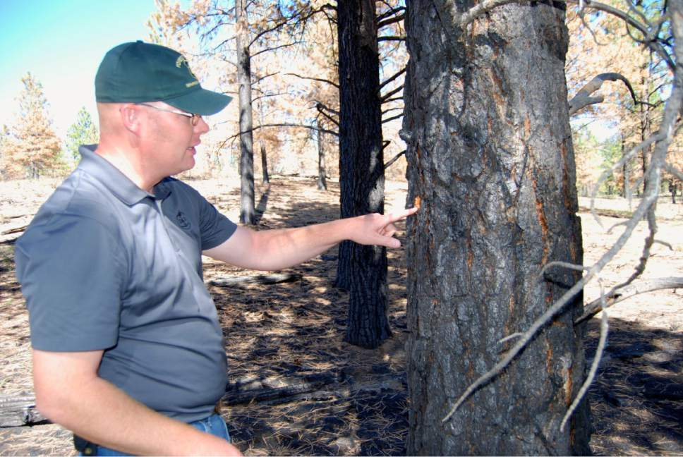 Brian Maffly  |  Tribune file photo Powell District Ranger Paul Hancock of the Dixie National Forest inspects the results of a prescribed burn conducted in 2015 at Dave's Hollow near Ruby's Inn. The results of 2,500-acre operation were ideal, removing floor debris and low branches while leaving mature trees, but heavy smoke angered Garfield County officials.