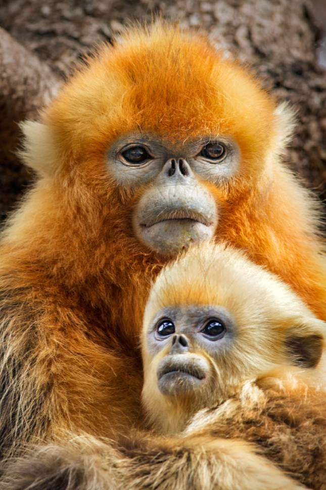 """This image released by Disneynature shows golden snub-nosed monkeys in the new film, """"Born in China,"""" which was shot over three years and captures the essence of multiple species in some of China's most remote and rugged spots. (Oliver Scholey/Disneynature via AP)"""