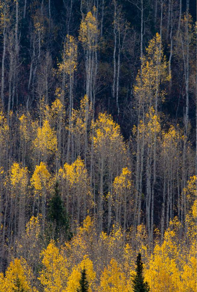 Steve Griffin  |  The Salt Lake Tribune   Sun shines through the clouds illuminating the fall colors in Big Cottonwood Canyon in Salt Lake City, Utah Monday, October 14, 2013.