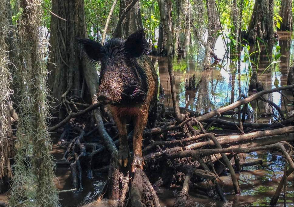 In this Thursday, April 13, 2017, photo, a wild boar walks in a swamp, in Slidell, La. Feral hogs are believed to cause $76 million or more in damage across the state every year but in recent years a small Louisiana slaughterhouse has begun butchering the hogs and selling the product to grocery stores and restaurants as part of an effort to help control the hogs' numbers. (AP Photo/Rebecca Santana)