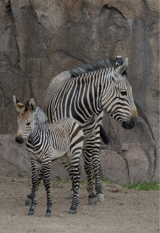 Francisco Kjolseth  |  The Salt Lake Tribune Utah's Hogle Zoo introduces their new baby zebra. Born April 11, the little striped gal has been bonding with mom, Zoey. Yet to be named, she weighs roughly 87 pounds and is the first Hartmann's Mountain Zebra ever born at Utah's Hogle Zoo. Weather permitting visitors can get a glimpse 2 hours a day as staff tries to keep the stress levels low on the protective mother.