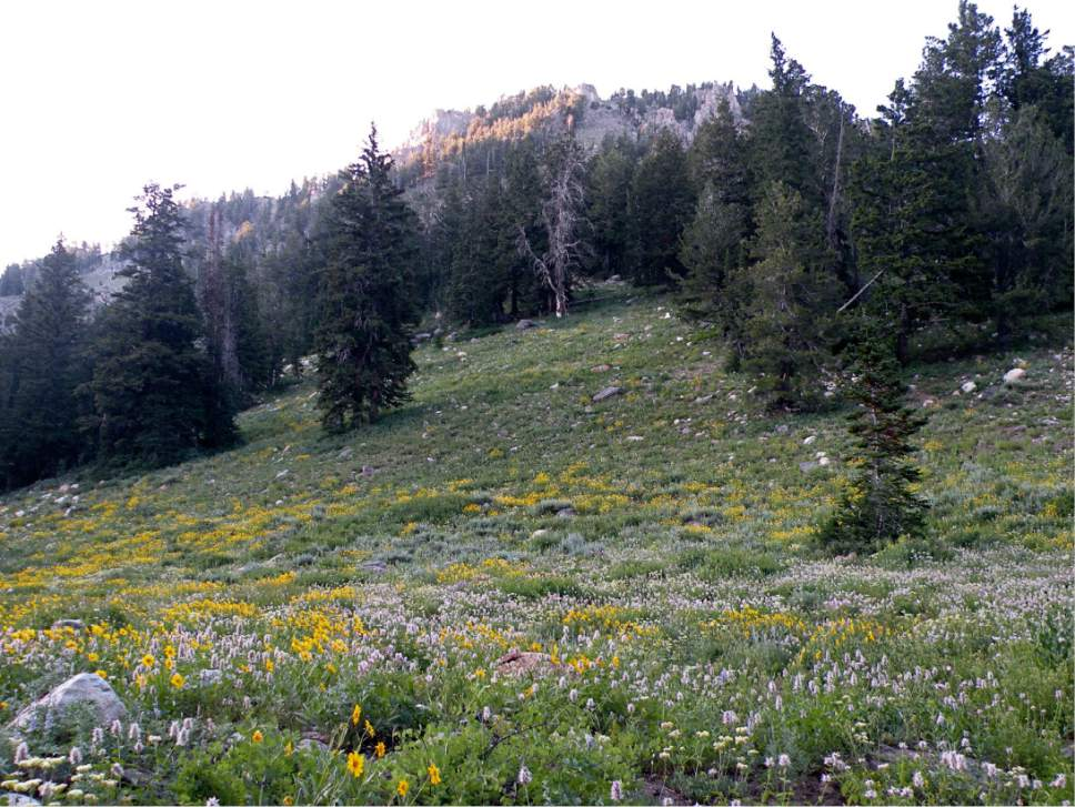 Erin Alberty  |  The Salt Lake Tribune  Wildflowers smother the hillside while Mount Gog bids goodnight to the last of the afternoon light near White Pine Lake in Logan Canyon near Tony Grove.