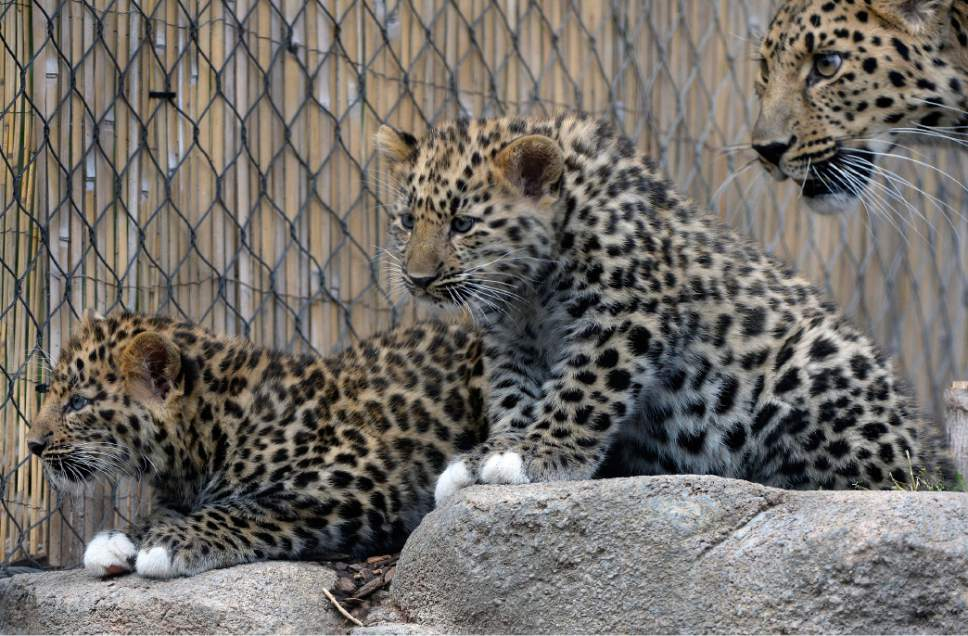 Al Hartmann  |  The Salt Lake Tribune Roman, left, and Raferty two critically endangered Amur Leopard cubs born at Hogle Zoo Feb. 17 stay close to their mother Zeya  exploring their new outdoor home on the first day out in public Thursday May 18.   Experts estimate only 60 leopards remain in the wild. Rafrerty and Roman have been bonding with mom, Zeya, and learning the basics of climbing and jumping. Zeya is doing a great job - she's nurturing and fiercely protective of her two cubs.