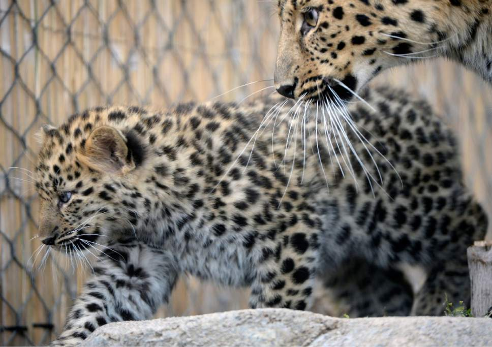 Al Hartmann  |  The Salt Lake Tribune Rafferty, one of two critically endangered Amur Leopard cubs born Feb. 17 at Utah's Hogle Zoo Feb. 17 stays close to his mother, Zeya, on his first day out in public Thursday.  Experts estimate only 60 Amur leopards remain in the wild. Rafferty and his brother, Roman, have been bonding with mom, Zeya, and learning the basics of climbing and jumping. Zeya is doing a great job - she's nurturing and fiercely protective of her two cubs.