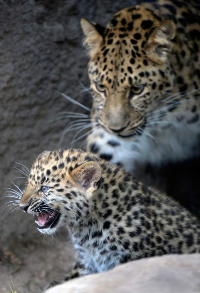 Al Hartmann  |  The Salt Lake Tribune Rafferty, one of two critically endangered Amur Leopard cubs born Feb. 17 at Utah's Hogle Zoo, stays close to his mother, Zeya, on the cub's  first day out in public.  Experts estimate only 60 leopards remain in the wild. Rafferty and his brother, Roman, have been bonding with mom, Zeya, and learning the basics of climbing and jumping. Zeya is doing a great job - she's nurturing and fiercely protective of her two cubs.