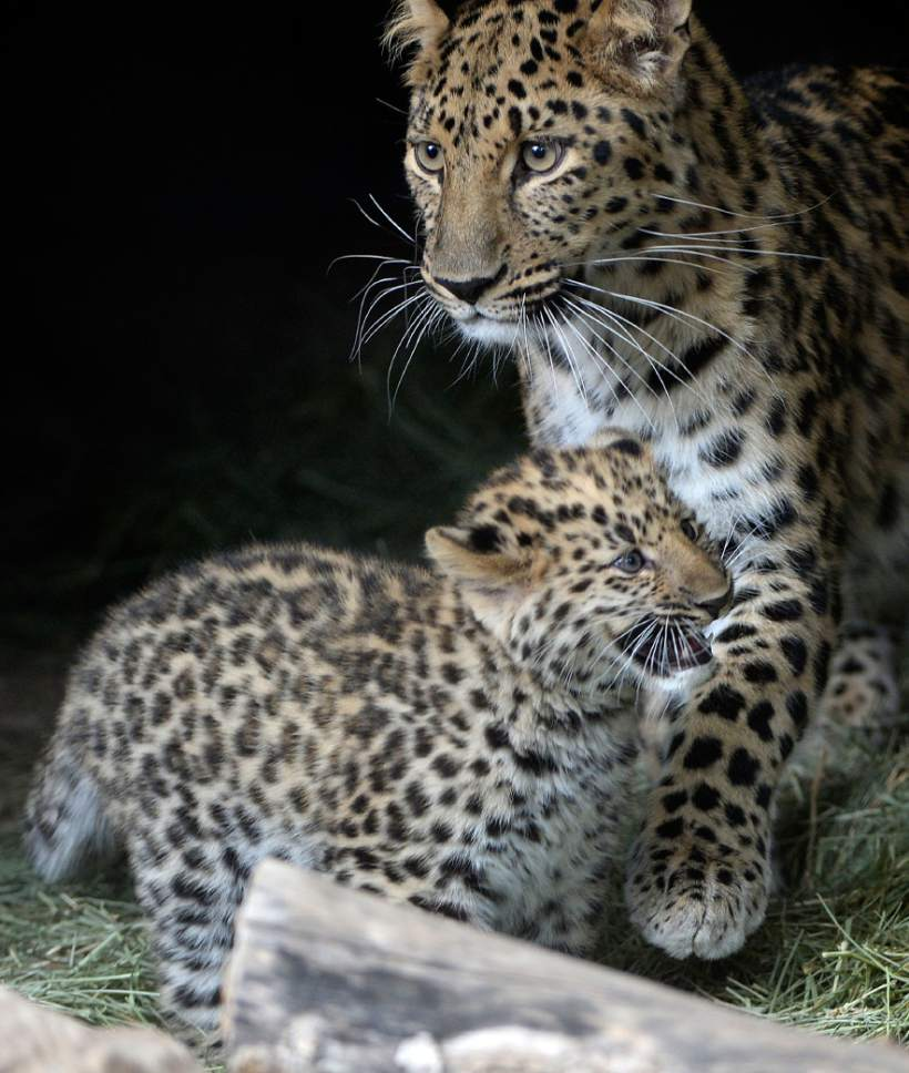 Al Hartmann  |  The Salt Lake Tribune Rafferty, one of two critically endangered Amur Leopard cubs born Feb. 17 at Utah's Hogle Zoo,7 stays close to his mother Zeya on his first day out in public Thursday.  Experts estimate only 60 leopards remain in the wild. Rafferty and his brother, Roman, have been bonding with mom, Zeya, and learning the basics of climbing and jumping. Zeya is doing a great job - she's nurturing and fiercely protective of her two cubs.