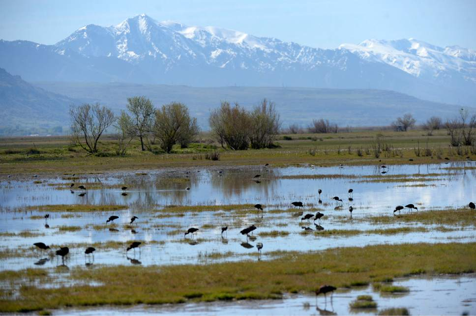 Al Hartmann  |  The Salt Lake Tribune May is a time when nearly all of the breeding bird species like this flock of white-faced Ibis are present on the Bear River Migratory Bird Refuge west of Brigham City.