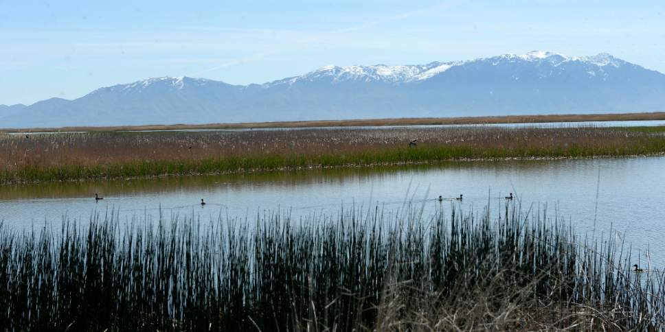 Al Hartmann  |  The Salt Lake Tribune May is a time when nearly all of the breeding bird species are present on the Bear River Migratory Bird Refuge west of Brigham City.