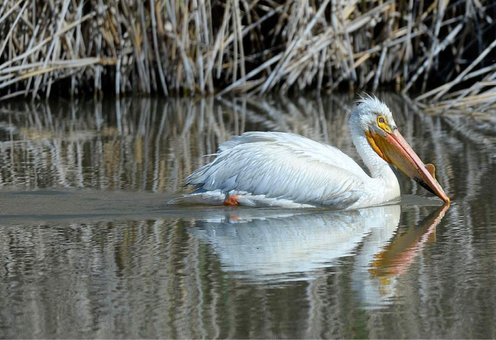 Al Hartmann  |  The Salt Lake Tribune May is a time when nearly all of the breeding bird species like this white pelican are present on the Bear River Migratory Bird Refuge west of Brigham City.