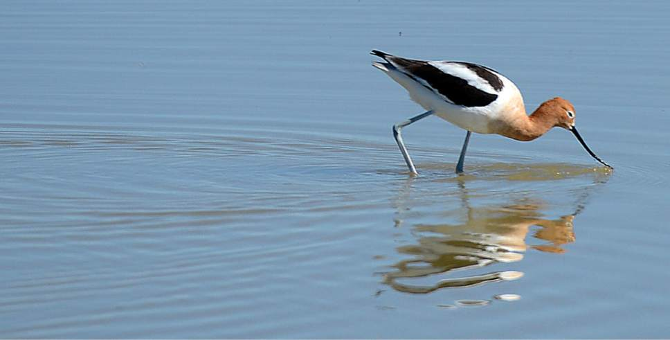 Al Hartmann  |  The Salt Lake Tribune May is a time when nearly all of the breeding bird species  are present on the Bear River Migratory Bird Refuge, like this American Avocet wading through the shallows.
