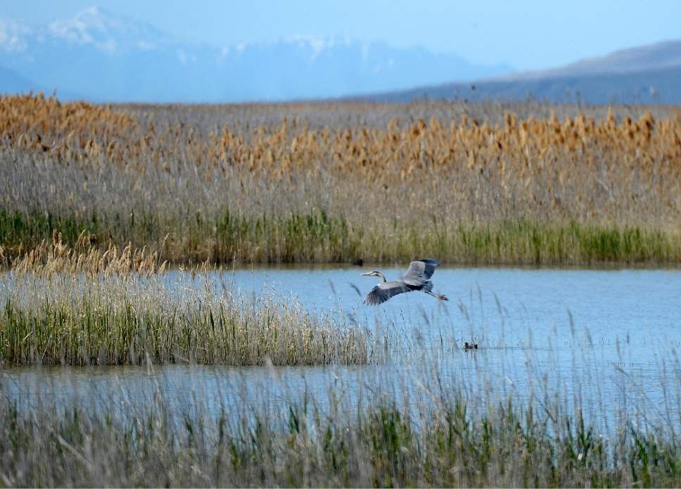Al Hartmann  |  The Salt Lake Tribune May is a time when nearly all of the breeding bird species like this great blue heron are present on the Bear River Migratory Bird Refuge.